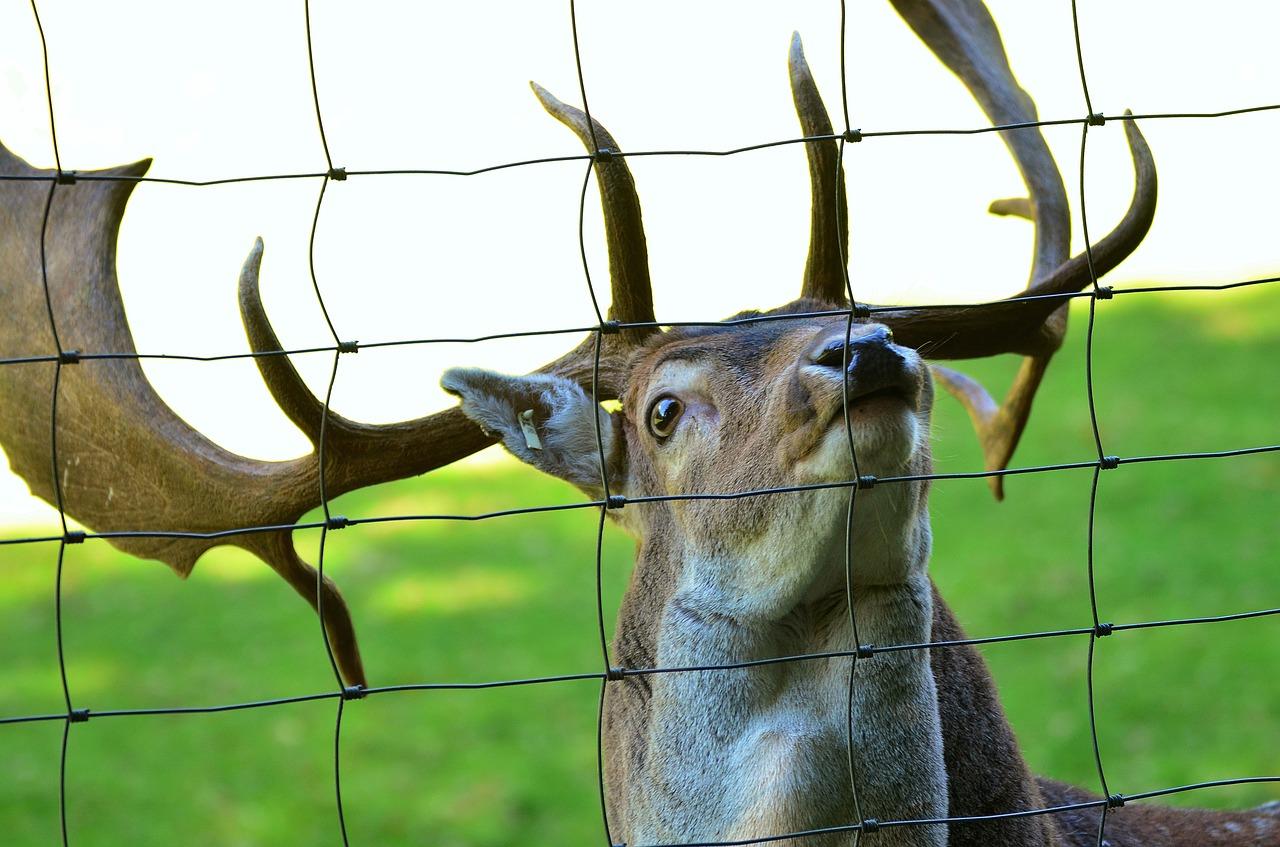 NZanimals_deer_170312