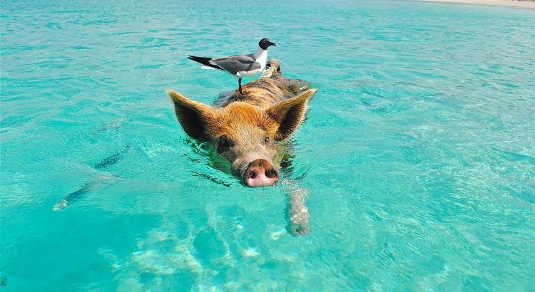 bahama pig travel swim