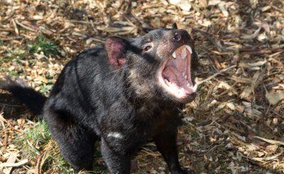 98-107. nap 6. rész: Tasmania különleges állatai