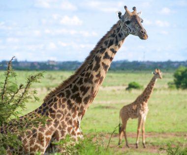 Voltál már Szafarin? Itt az alkalom: 10 nap Nairobi, Kenya, 4 csillagos szállással és repjeggyel: 270.400 Ft-ért!