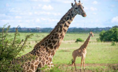 Egy kis szafari? 10 nap Kenya, Nairobi, 4 csillagos szállással és repjeggyel: 247.000 Ft-ért!