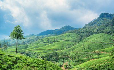 A leghíresebb teaültetvények Srí Lankától az Azori-szigetekig