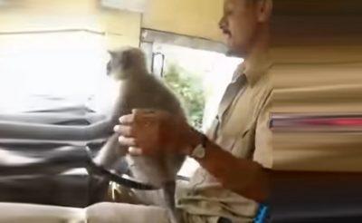 Nem vezethet tovább az indiai sofőr, aki átadta egy majomnak a kormányt!
