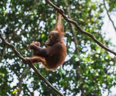 Nézd meg saját szemeddel az orangutánokat Borneón!