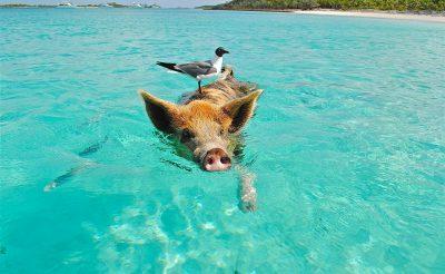 Veszélyben a világ legcukibb malackái a Bahamákon!