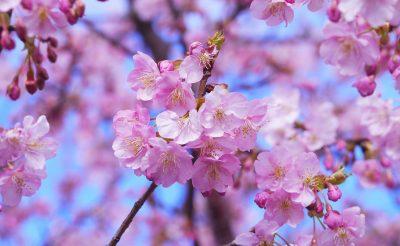 Bakancslistás: Japán a cseresznyefa virágzás idején! 9 éj Tokióban, háromcsillagos szállással és repjeggyel 216.000 Ft-ért!