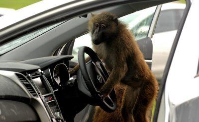 Utazómajom autóbérlés kisokos!