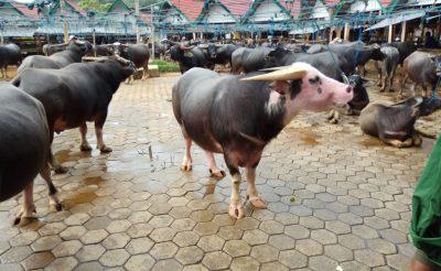 Indonézia érdekes világa – Toraja népcsoport